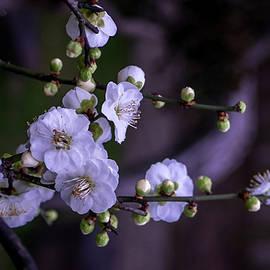 Liang Li - Plum blossom
