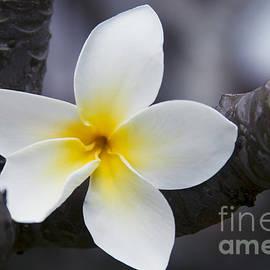 Sharon Mau - Plumeria obtusa Singapore White Blossom