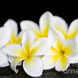Sharon Mau - Plumeria obtusa Singapore White