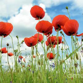 Poppies in field - Jelena Jovanovic