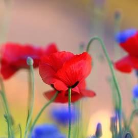 Lynn Hopwood - Poppies in spring