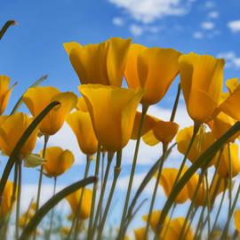 Saija  Lehtonen - Poppies in the Wind