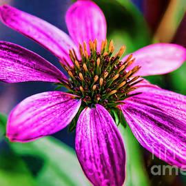 Gary Holmes - Popping Echinacea