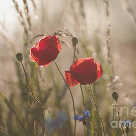 Tanja Riedel - Poppy in sunrise my world
