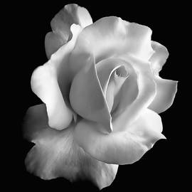 Jennie Marie Schell - Porcelain Rose Flower Black and White