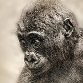 Jim Fitzpatrick - Portrait of a Baby Gorilla digitally altered
