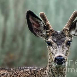 Jim Fitzpatrick - Portrait of a Male Deer
