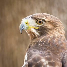 Dawn Currie - Portrait of a Red-Tailed Hawk