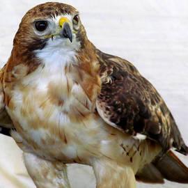 Lori Pessin Lafargue - Portrait of a Redtail Hawk