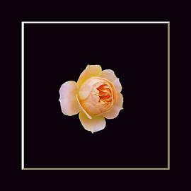 Lena Kouneva - Portrait of a rose on black background
