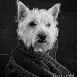 Edward Fielding - Portrait of a Westie Dog