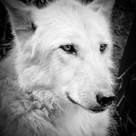 Athena Mckinzie - Portrait Of A Wolf