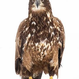 Laura Zamfirescu - Portrait of a young eagle
