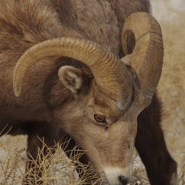 Jeff Swan - Portrait of a young ram