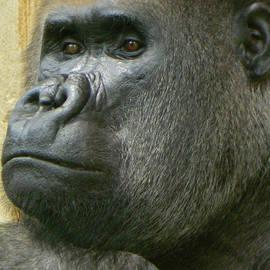Emmy Marie Vickers - Portrait of Baraka - A Silverback Gorilla