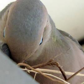 Eric Forster - Portrait Of Dove Feeding