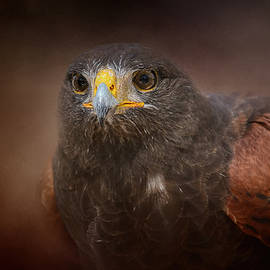 Jai Johnson - Portrait Of The Harris Hawk