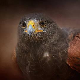 Jai Johnson - Portrait Of The Harris Hawk