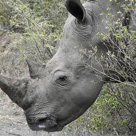Beth Wolff - Portrait view of a White Rhino