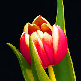 Karen Lewis - Praying Tulip
