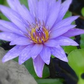 Charlotte Gray - Pretty Blue Water Lily