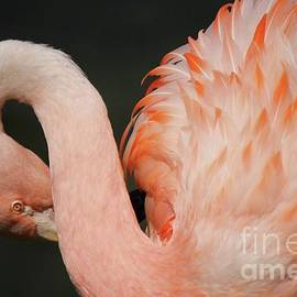Paulette Thomas - Pretty Flamingo