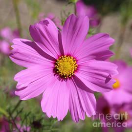 Carol Groenen - Pretty Pink Cosmos Square