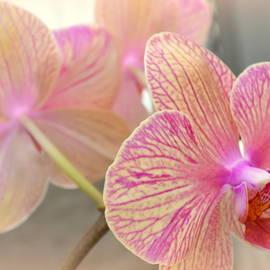Linda Covino - Pretty pink orchids