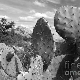 Greg Kopriva - Prickly Pear at Enchanted Rock