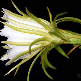 Barbara Chichester - Profile Night Blooming Cereus