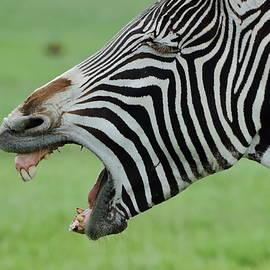 Debra Larabee - Protesting Zebra