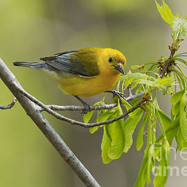Cameron Williams - Prothonotary Warbler 2