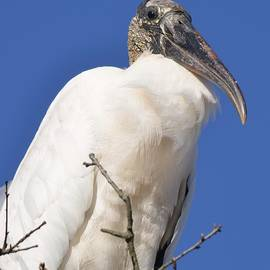 Richard Bryce and Family - Proud Wood Stork
