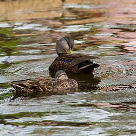 Allan Morrison - Public Gardens Black Duck 3