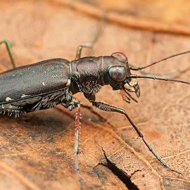 Derek Thornton - Punctured Tiger Beetle