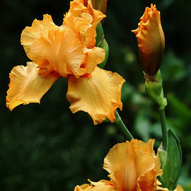 Debbie Oppermann - Pure Orange Iris