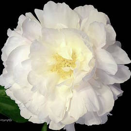 Jeannie Rhode Photography - Pure White Peony