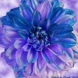 Brenda  Spittle - Purple and Blue Dahlia