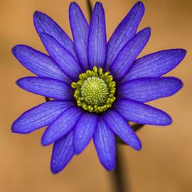 Steven Schwartzman - Purple Anemone