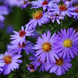Debbie Oppermann - Purple Autumn Asters