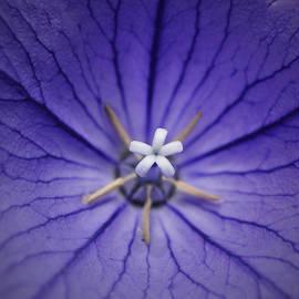Richard Andrews - Purple Balloon Flower
