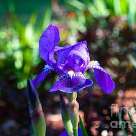 Julia Rigler - Purple Bearded Iris