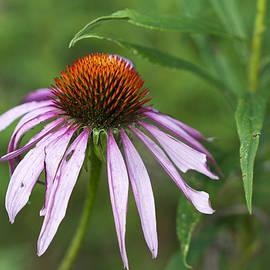Mother Nature - Purple Coneflower Wildflower - Echinacea purpurea