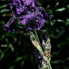 Darleen Stry - Purple Crocus