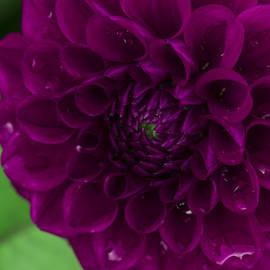 Lindley Johnson - Purple Dahlia