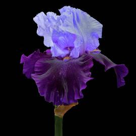 Floyd Hopper - Purple Delight