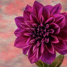 Purple Dhalia - Garry Gay