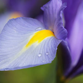Jennie Marie Schell - Purple Dutch Iris Flower Macro