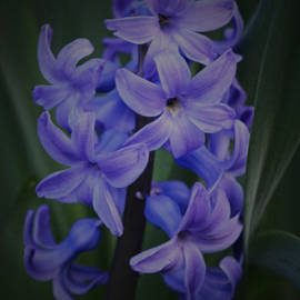 Richard Andrews - Purple Hyacinths - 2015 D