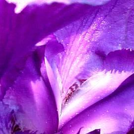 Jacquie King - Purple Iris Heart